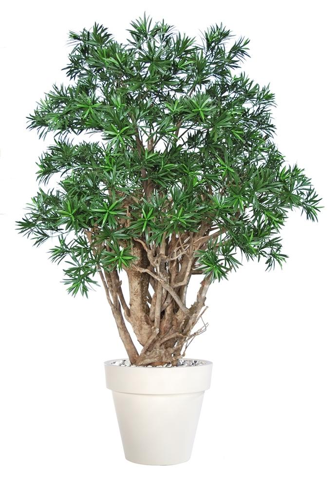 Podocarpus Robusta 180 cm Green